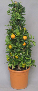 calamondino in offerta