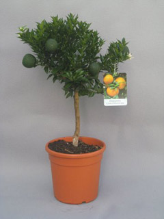chinotto, citrus myrtifolia